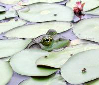 Frog in lily pads