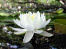 Side view of fragrant water lily (60KB)