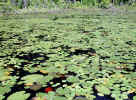 Variety of lily pads (167KB)