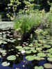 Lily pads and pond grass (91KB)